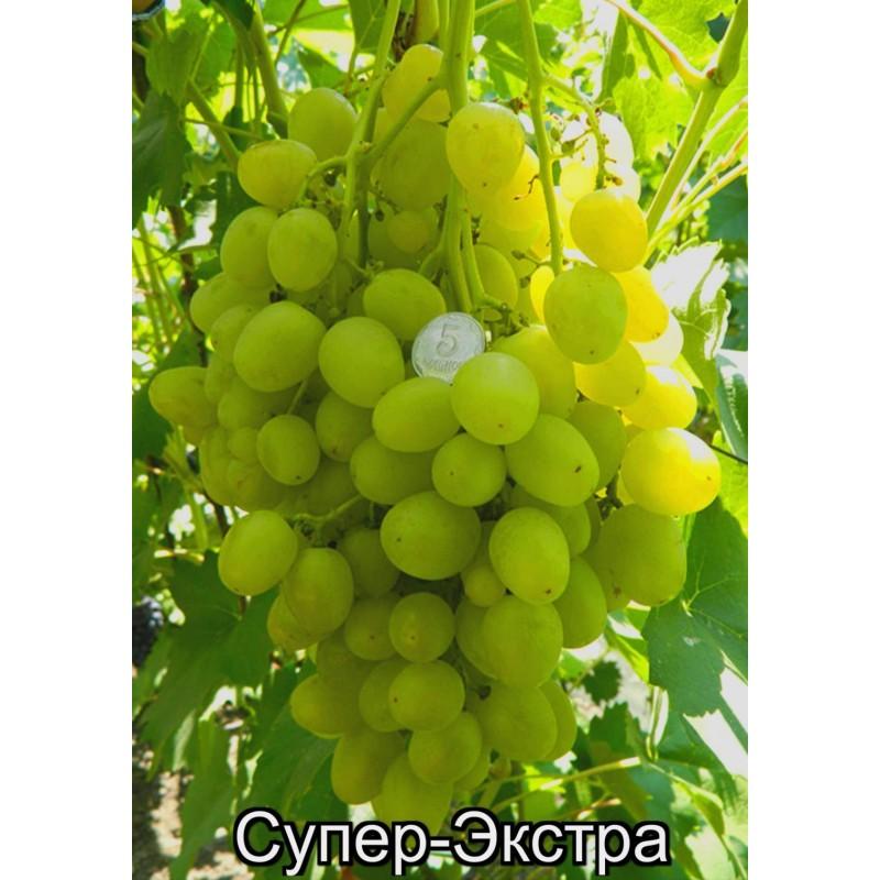 Сорта винограда  Виноградарь любитель  Гусев АФ