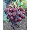 Эверест виноград