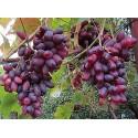 Изюминка виноград