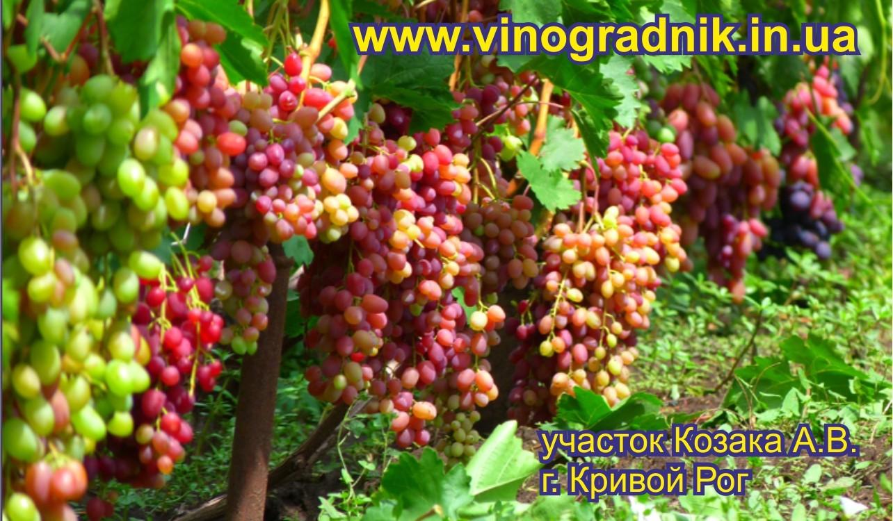 Саженцы винограда Велес отличного качества по доступной цене